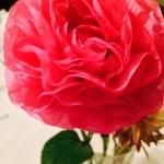 今日の花 鮮やかなピンクが印象的です。
