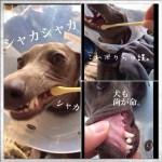 「犬の歯周病予防」歯垢は3日放置していると歯石に変化!