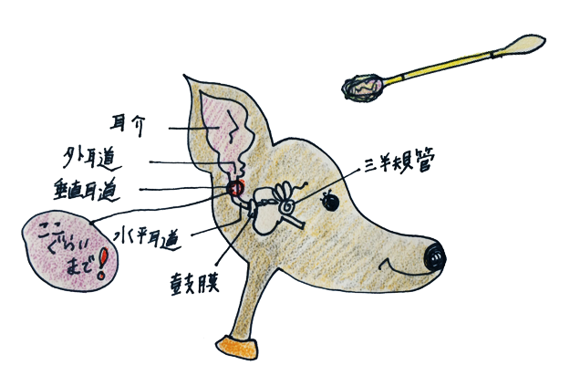 犬のグルーミング|各パーツのお手入れ・耳【犬の育て方 vol.55】