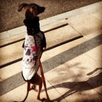 犬服|イタグレ・ウィペット|フォトギャラリー01