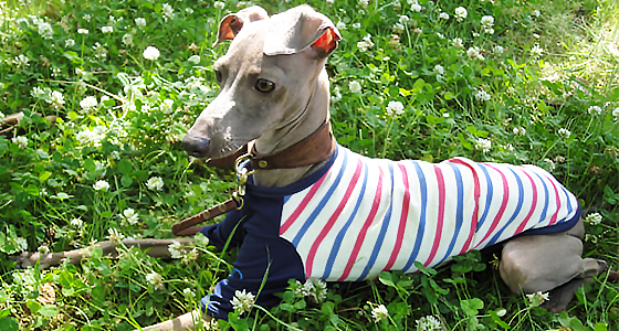 イタグレ服を我家の愛犬に着せる10の理由|犬に服は必要?