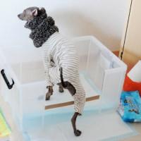 「愛犬のトイレ」イタグレBuono!♂のトレイを見てみたい?