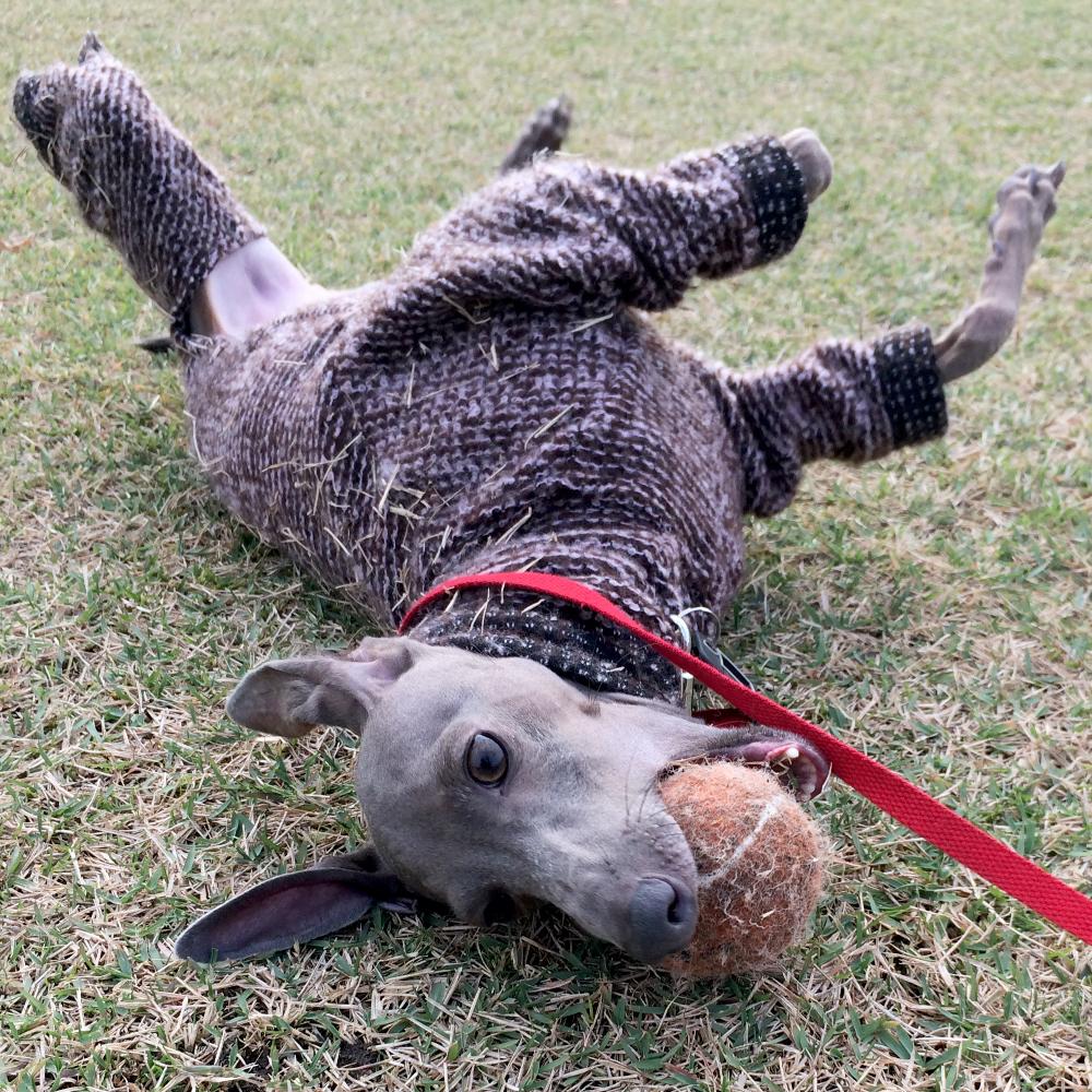愛犬イタグレBuono!の「2才の誕生日」に感じた、少しの葛藤と、大っきな喜び。