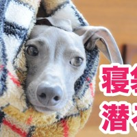 【YouTube|動画】イタグレ「犬寝袋」に潜る!初めて使う時の簡単な使い方