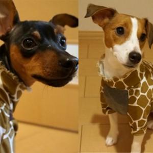 福岡市キリン動物園に「ジャックラッセルテリア」と「ミニピン」がキリンさんになって現れる!シュワ~~ッチ!