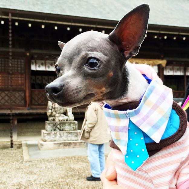 淡路島にミニ日本テリアの「ハナピちゃん」がお目目をウルウルさせながら「幸せ」を運んで来てくれた話