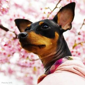 「淡路島でお花見」お茶目なミニピン桜さん、春らしい桜色のお洋服でお洒落して、淡い桜の花びらに包まれる。これぞ桜桜桜で桜さん(笑)