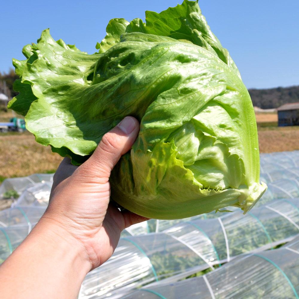 淡路島で新鮮「レタス」穫ったどぉー!初めての収穫体験、レタパックって何だ?、シャキシャキサラダで食す!in木田ファーム