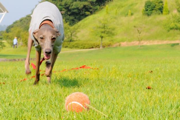 涼しいお洋服でルンルン♪「散歩」と「芝」と「ボール」と「Buono!」と「犬服新作」