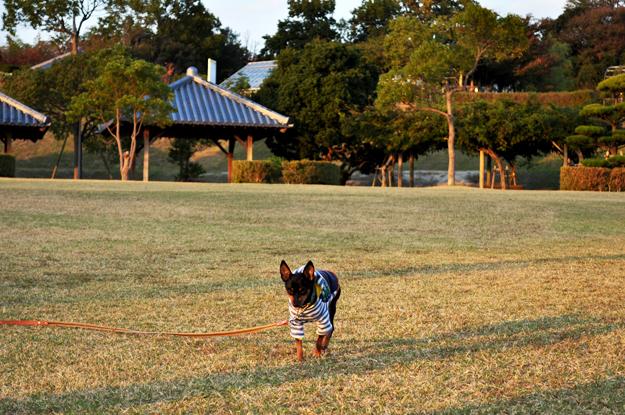 「体力、残しておいてよ」by Buono!|淡路島に「マイペースなミニピン」と「パワフルなチワワ」が夕焼けを見に来てくれた話