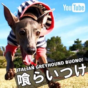 夜な夜な趣味の時間「喰らいつけ」ITALIAN GREYHOUND BUONO!@YouTube