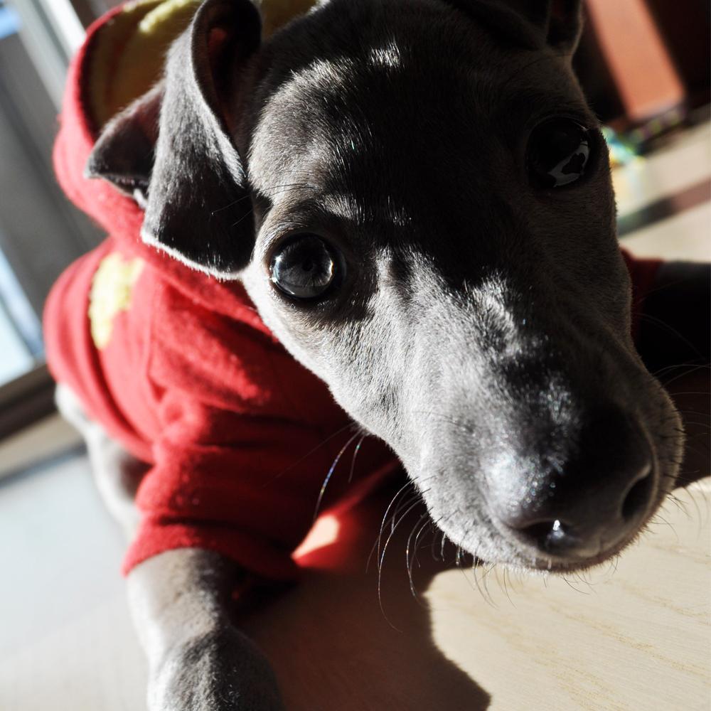 皆さんの愛犬を「採寸」して「オーダーメイドの服」を製作するにあたってのお願い