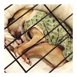 まん丸になって寝てる姿が可愛い「ウィペット」