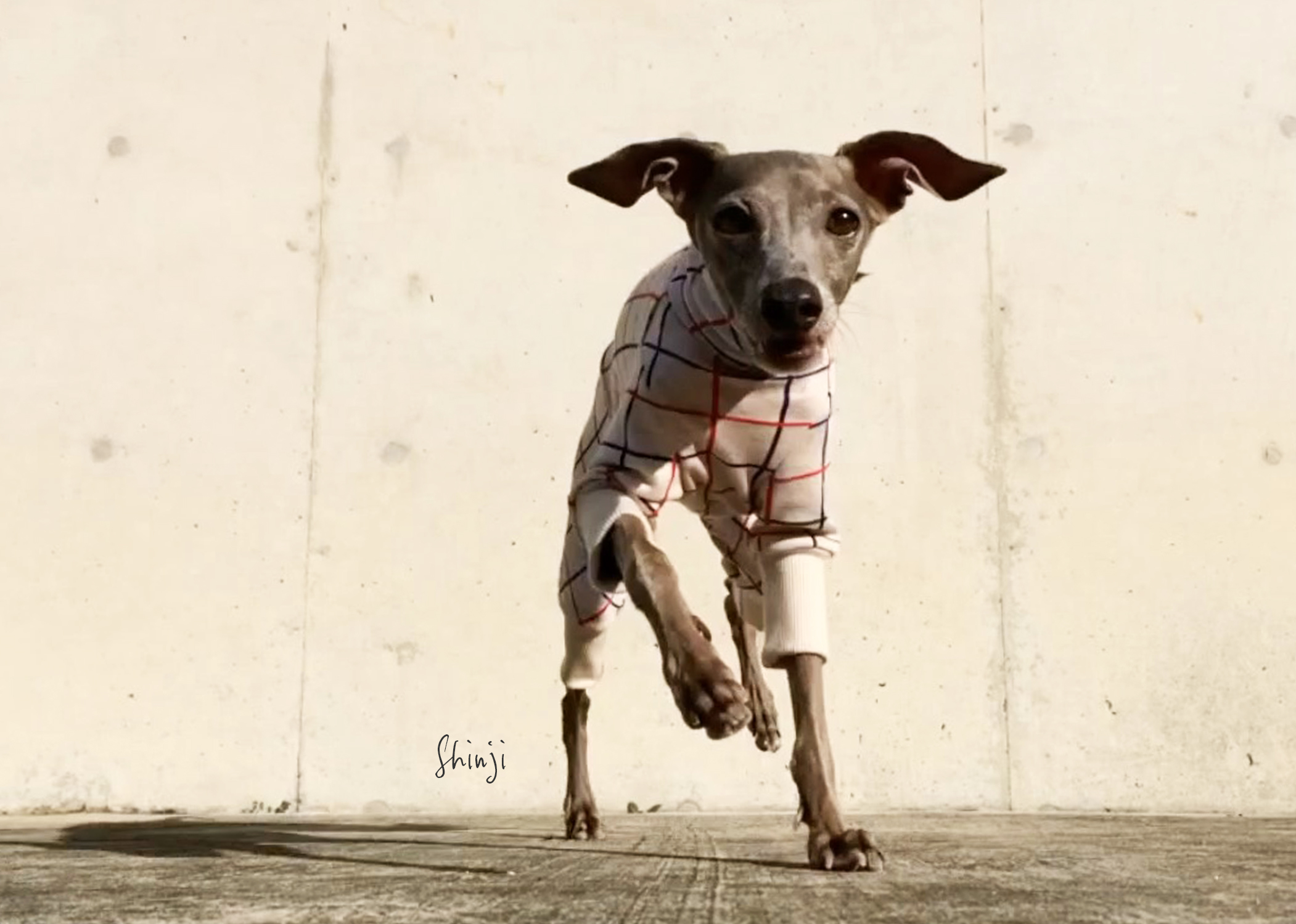 犬服 3cm×3cmグリッドチェック 日本製ジャガードニット 選べる4タイプ×2カラー(アイボリー/レッド)